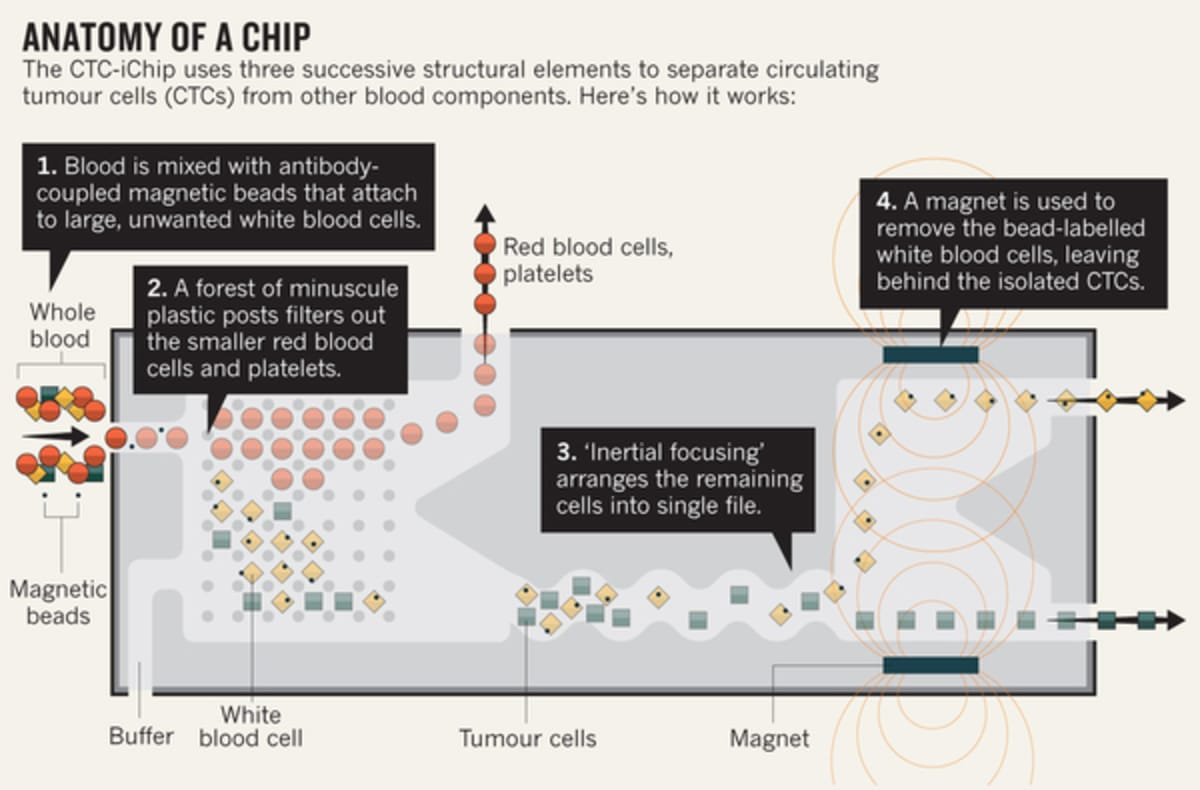 Ucla Bioengineers Use 3d Printing To Create Microfluidics For Red And White Blood Cell Diagram Of Cells Di Carlos Lab Has Developed Its Own Microfluidic Methods Sort Samples Using Channels Dotted With A Series Side Chambers Like Transepts In