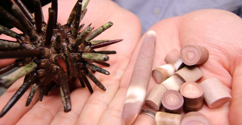 Photo of Sea urchins may be key to developing lightweight engineered cellular materials
