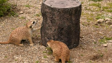 Photo of Meerkats dine in style with 3D printed feeder at Cincinnati Zoo